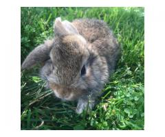 Mini lop/Holland Lop mix rabbit babies