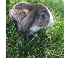 Handsome Blue eyed bunny