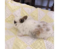 Beautiful Netherland Dwarf bunny