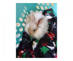 Insanely cute 100% English angora baby bunnies for sale