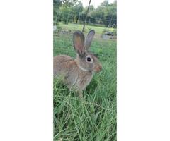5 Tamuk buck rabbits for sale