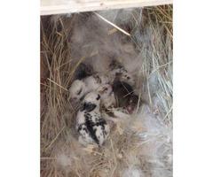 6 week old doe New Zealand (female) bunnies