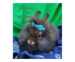 Cute Lion head baby bunnies looking for a forever home
