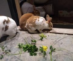 Three mini rex bunny rabbits for sale