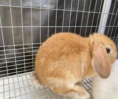 Purebred female Holland lop bunny