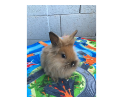6 to 10 week old Bunnies for Sale