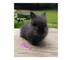 Beautiful lionhead babies available for adoption