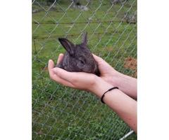 7 Flemish Giant bunnies available
