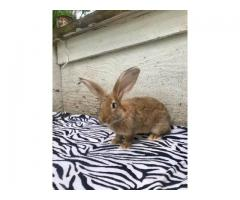 11 weeks old Flemish Giant Bunnies for Sale