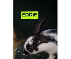 8 Flemish Giant bunnies for sale