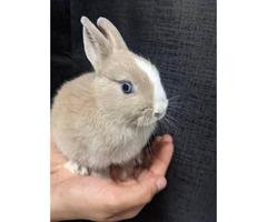 5 weeks old pure Netherland dwarf bunnies