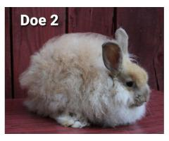 French Angora bunny rabbits with pedigrees