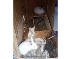Brown, grey, and white mini rex bunnies