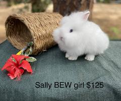 Dwarf Lionhead Blue eyed white fluffy bunnies