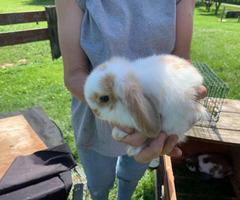8 weeks old Holland lop bunnies