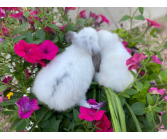 Two cute Holland lop bunnies