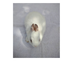 Purebred dwarf bunnies available for new loving homes
