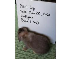 Pedigreed Mini Lop babies