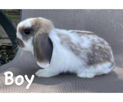 Boy and girl Holland Lop bunnies