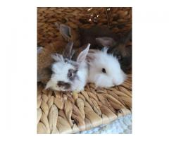 8  weeks old Lionhead baby bunnies