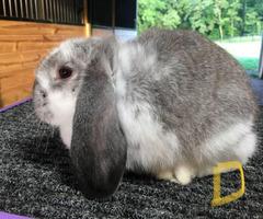 Cute cuddly Holland Lop bunnies