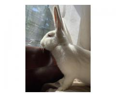 Flemish Giant Bunnies 8 month old rabbits for sale