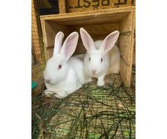 New Zealand bunnies for sale