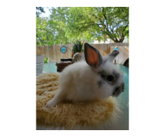 3 weaned baby lionhead rabbits for sale