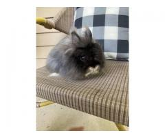 Very Sweet Little Jersey Wooly rabbits for sale