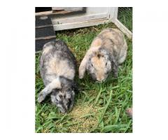 2 holland lop bunnies with food and cage