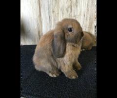 12 weeks old adorable Holland lop bunnies