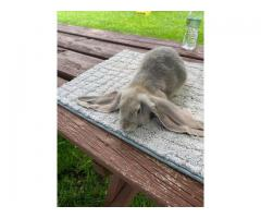 Beautiful English lop bunnies for sale
