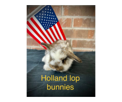 8 Holland lop bunnies ready for pickup