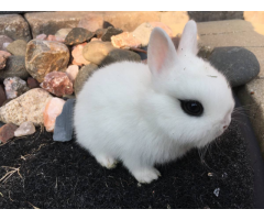 Gorgeous dwarf hotot baby bunnies available