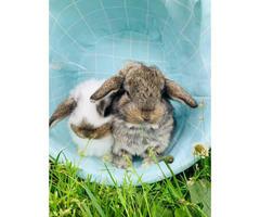 3 Mini Lop bunnies for sale