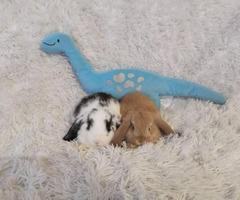 Miniature lop bunnies