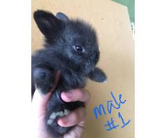 Farm raised baby Lionhead bunnies