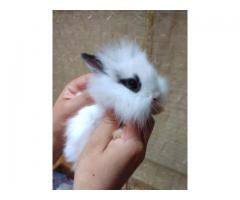 Cute lion head bunnies looking for new homes