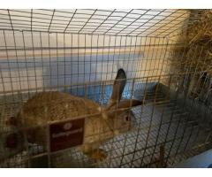 Pedigreed chinchilla bucks and does for sale