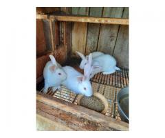 3 male full blooded New Zealand Bunnies