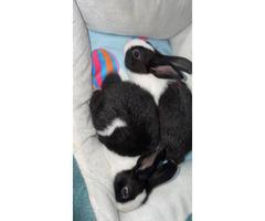3 Dutch baby bunnies for sale