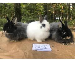 5 months old Jersey wooly bucks for sale