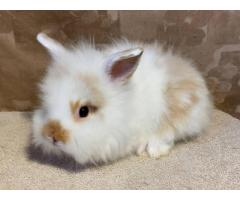 6 weeks old Lionhead bunnies for sale