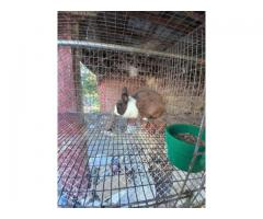 2 Dutch Rabbits for sale