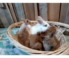 Bunnies Lionhead Rex mix rabbits in need of a new home