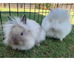 13 weeks old Lionhead bunnies for sale