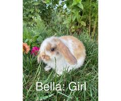 Adorable bunnies Mini Lop