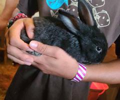 5 Silver fox bunnies for sale