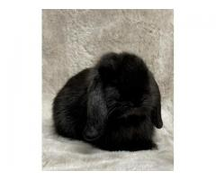 I am selling two 6-month-old bunnies