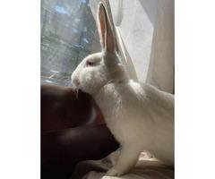 2 Flemish Giant rabbits